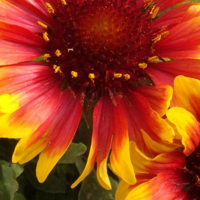Red flower with yellow tips radiantly red pinterest red flower with yellow tips mightylinksfo