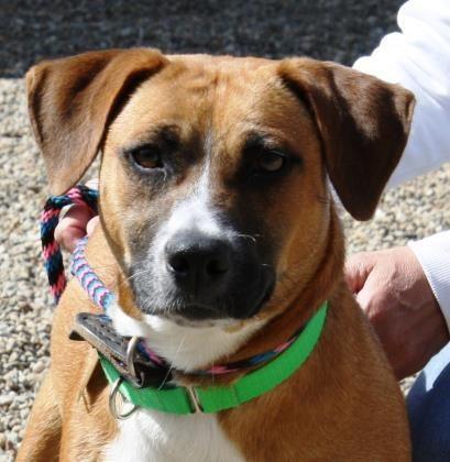 Adopt Janice On Shepherd Dog Mix Labrador Retriever Adoption