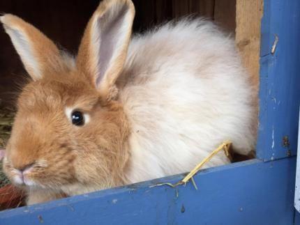 Angorakaninchen Angora Kaninchen Kastrat In Niedersachsen Langen Ebay Kleinanzeigen Angorakaninchen Kaninchen Hase Kaninchen