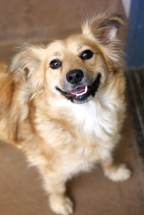 Goldilocks Golden Retriever Terrier Mix 26lb She S Been Looking