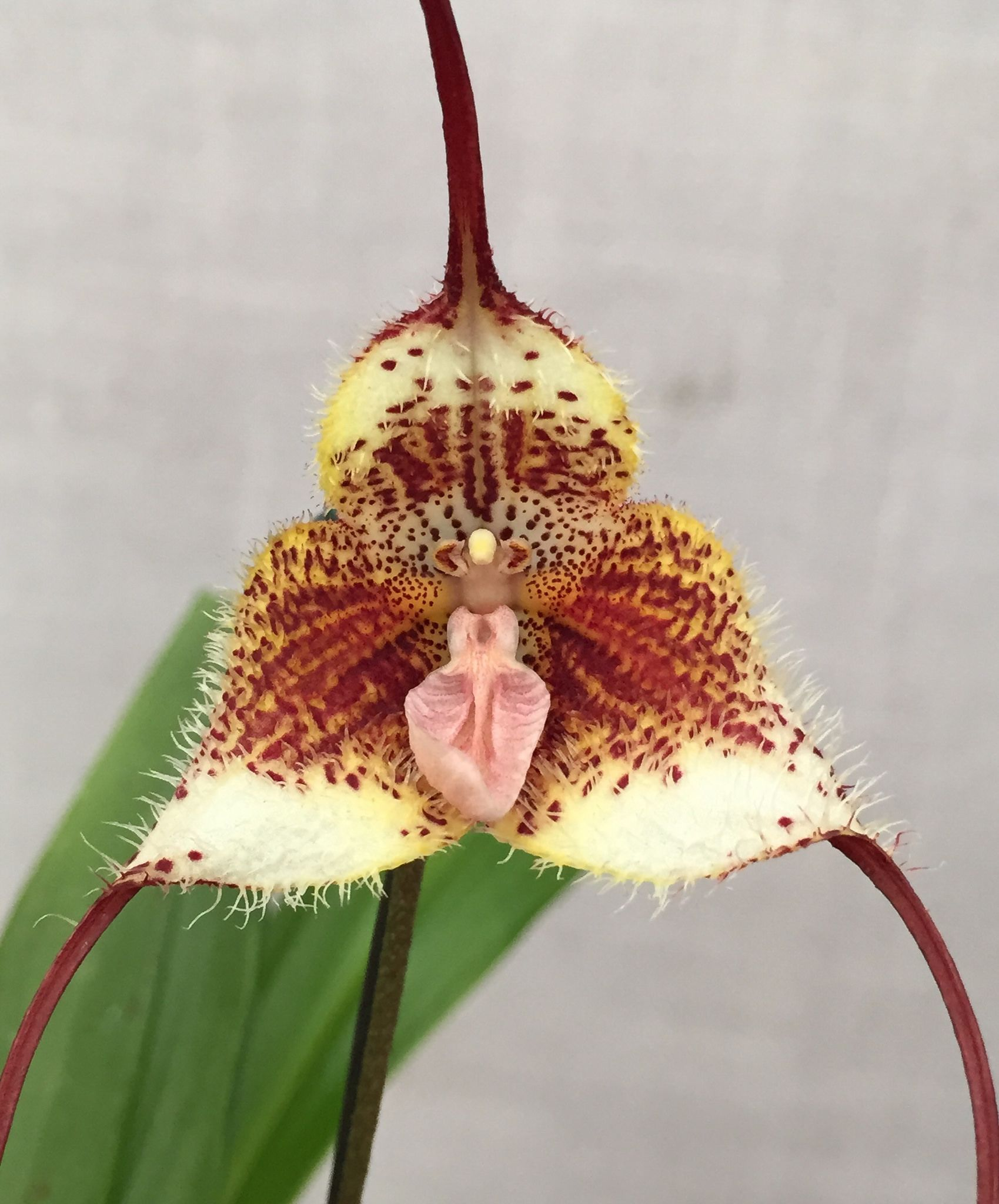 Dracula diana dracula orchid orchidsbyhausermann orchids