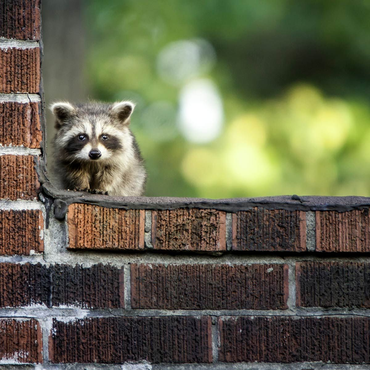 How To Get Rid Of Raccoons Getting Rid Of Raccoons Raccoon