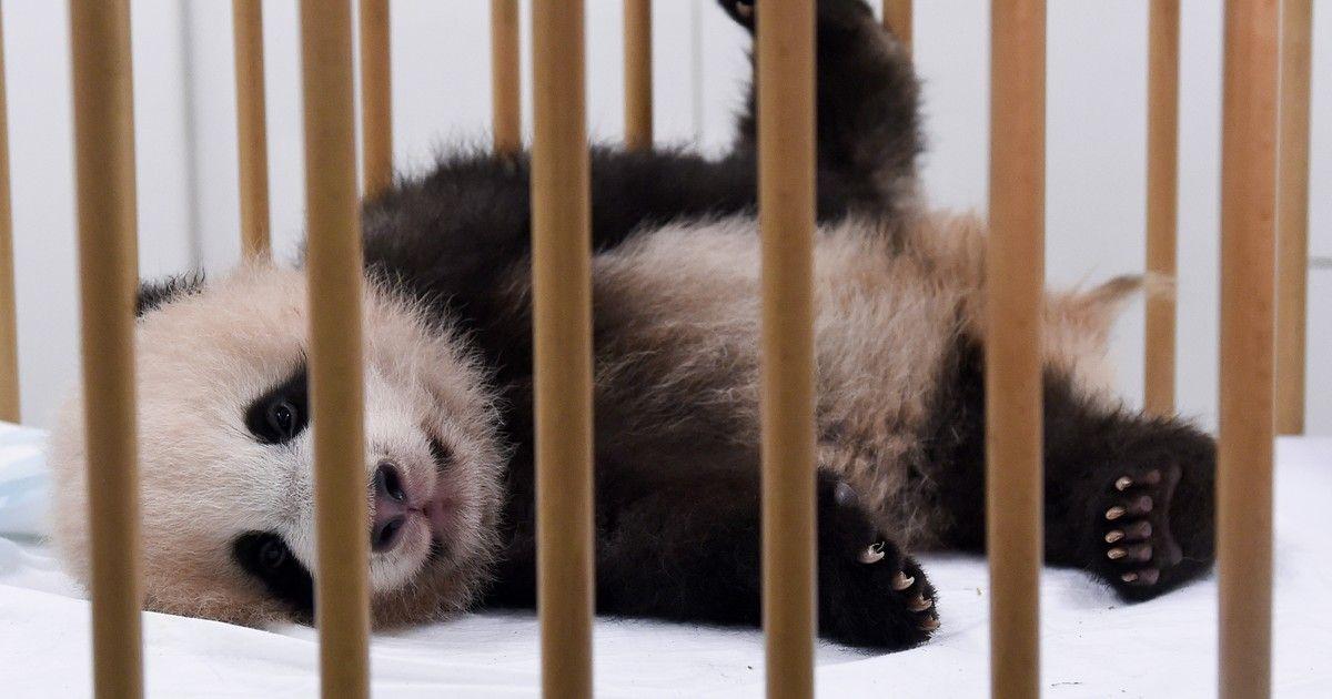 g1: Primeiro bebê panda nascido na Bélgica se chamará 'Tesouro do Céu' https://t.co/Lhr5m5bhaX #G1 https://t.co/fK2xjIiKyb