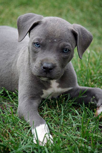 Blue Pit Puppy. Sure his eyes won't stay that way, but ...