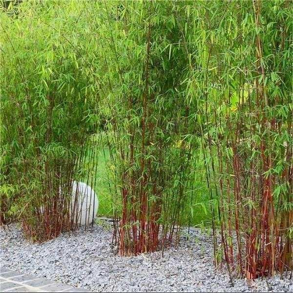 clumping bamboo plants landscaping