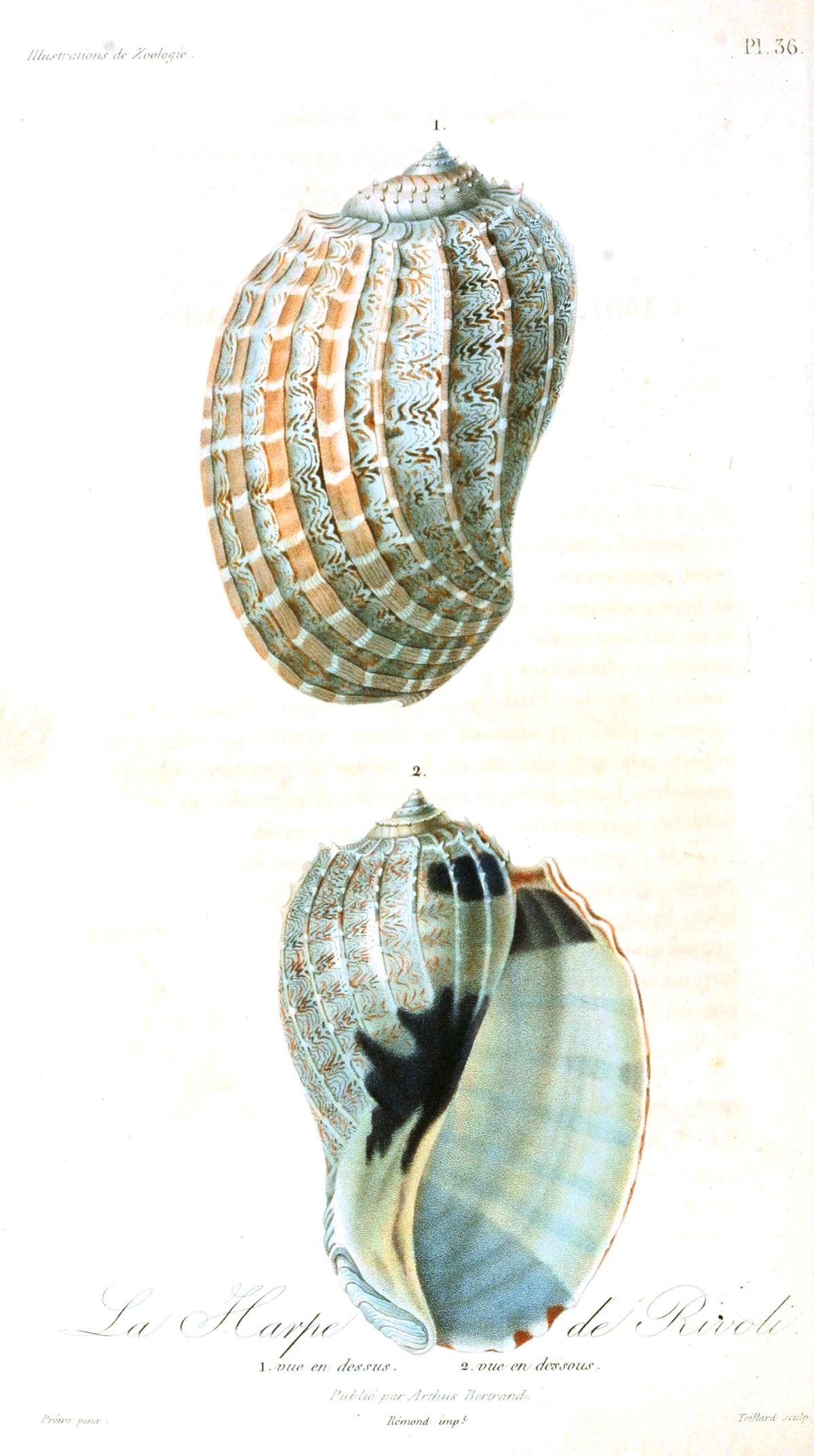 Vintage Seashell Print