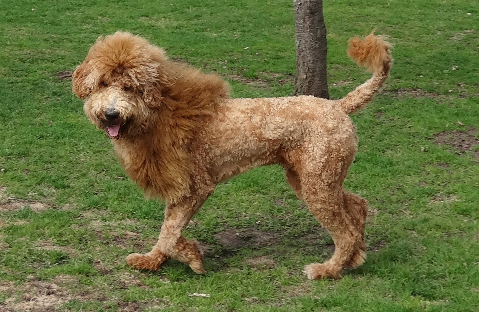 Types Of Goldendoodle Haircuts Goldendoodle Haircuts That Will Make You Swoon Goldendoodle Haircuts Goldendoodle Goldendoodle Grooming