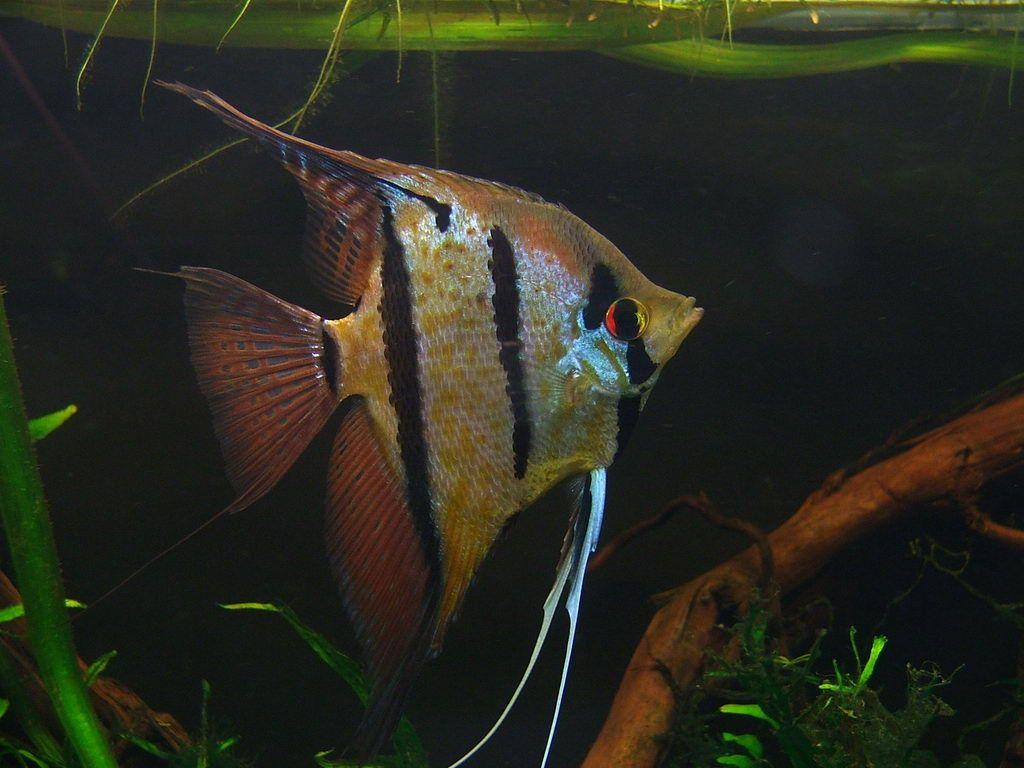 Peru altum aquarium pinterest for Peru altum skalar