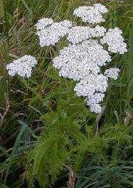 Alles over Duizendblad (Achillea millefolium)