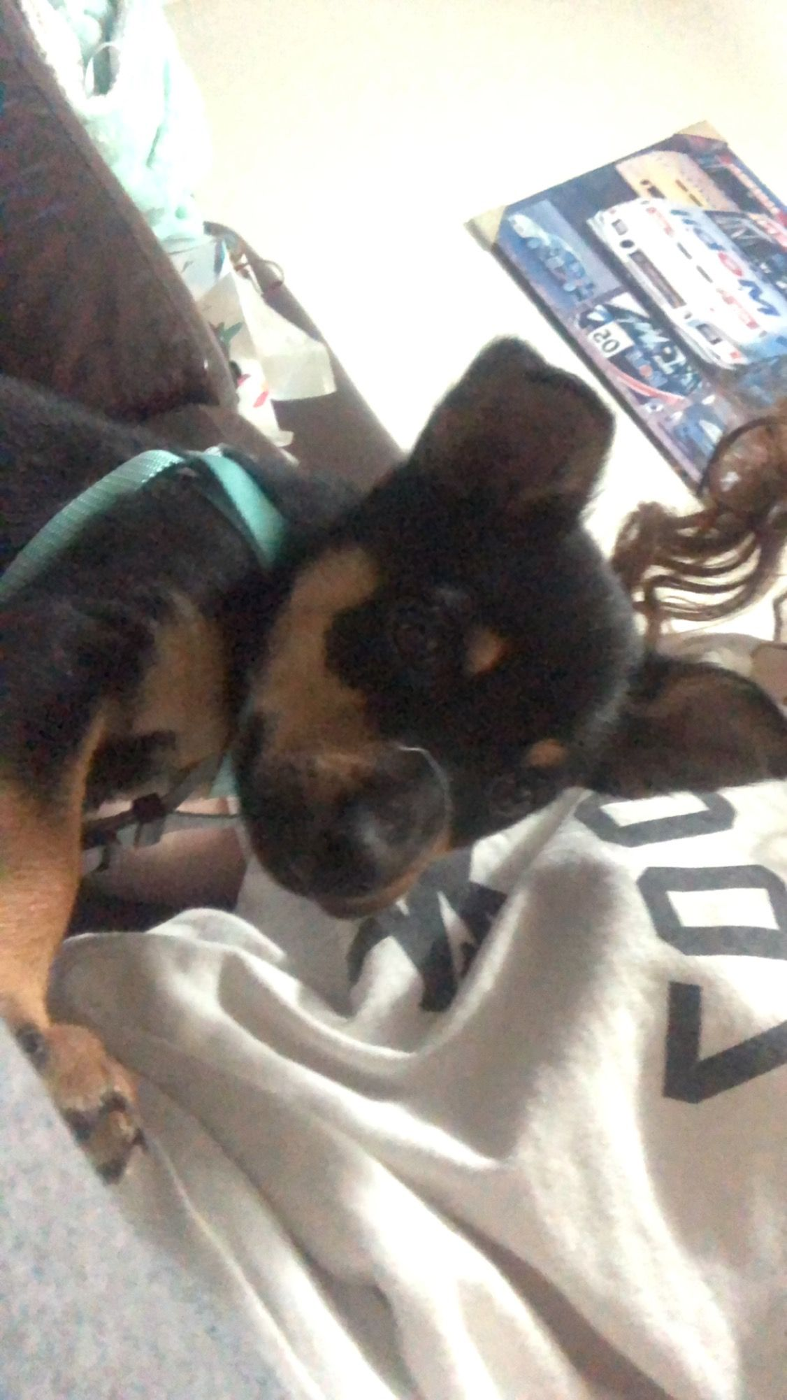 Australian Kelpie Puppy Available 2 Months Old In Geelong West