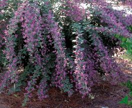 Bush Clover Shrub Does Well In Clay Soil Gardening Shrubs