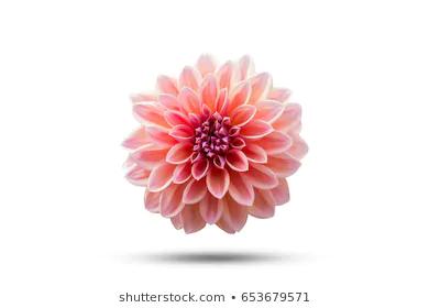 Royalty Free Dahlia Flower Stock Images Dahlia Flower Flower Images Flower Illustration