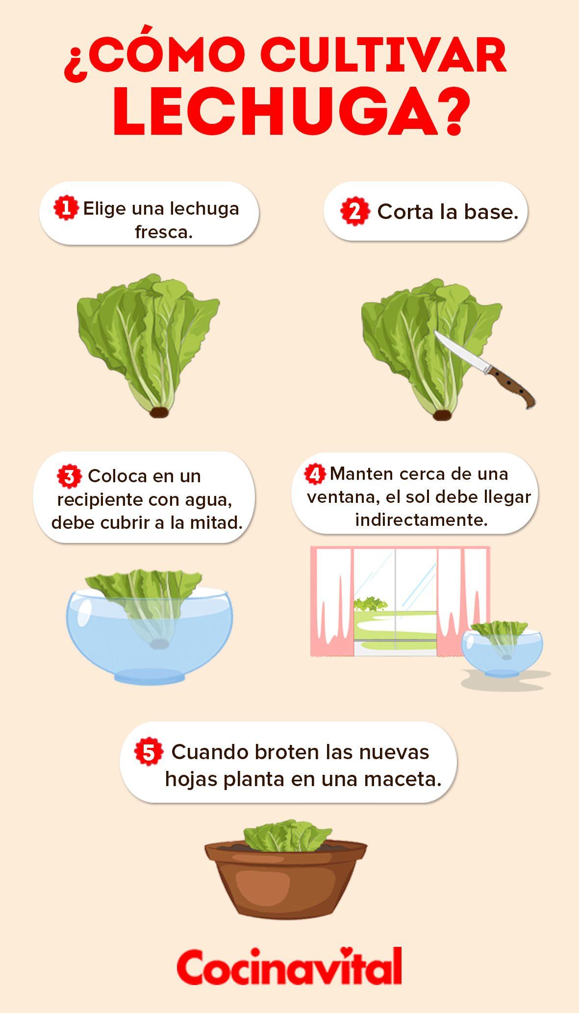Cómo Plantar Lechugas En Agua Sin Semillas Cocina Vital Qué Cocinar Hoy Como Plantar Lechuga Como Cultivar Lechugas Cultivo De Plantas