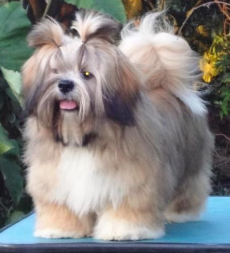 Guardiansbest Animalrescue Lhasaapsos Animal Rescue Animals Dogs