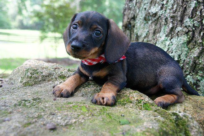 Pocomoke Md Dachshund Meet Lucy A Dog For Adoption