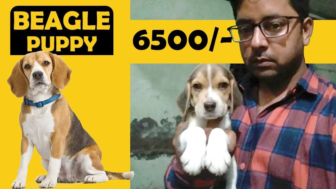 We Have Beagle Female Puppy At A Reasonable Price This Beagle