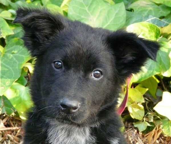 Learn About The German Shepherd Border Collie Mix Collie Mix