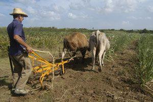 Las prácticas agroecológicas del campesino en el manejo de  los cultivos contribuyen a elevar la fertilidad de los suelos . (Foto MARTHA VECINO)