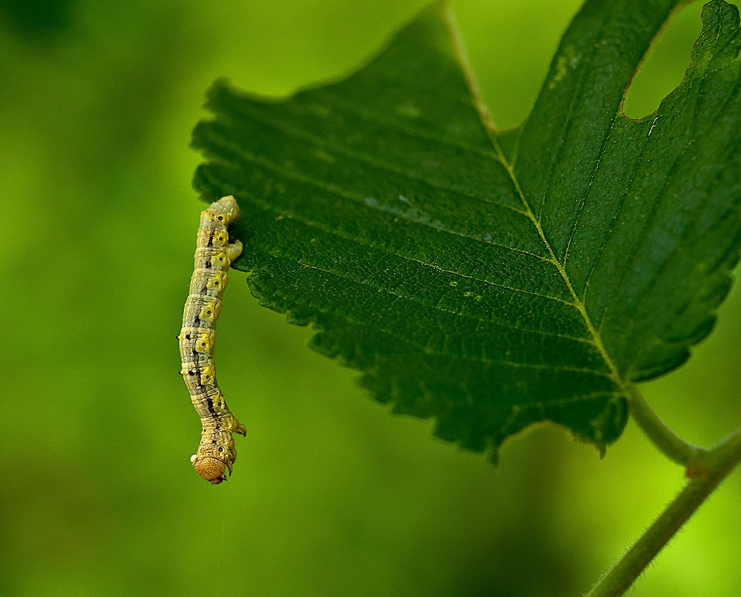 Inch Worm Tiny Magical Bugs Pinterest Moth And Animal