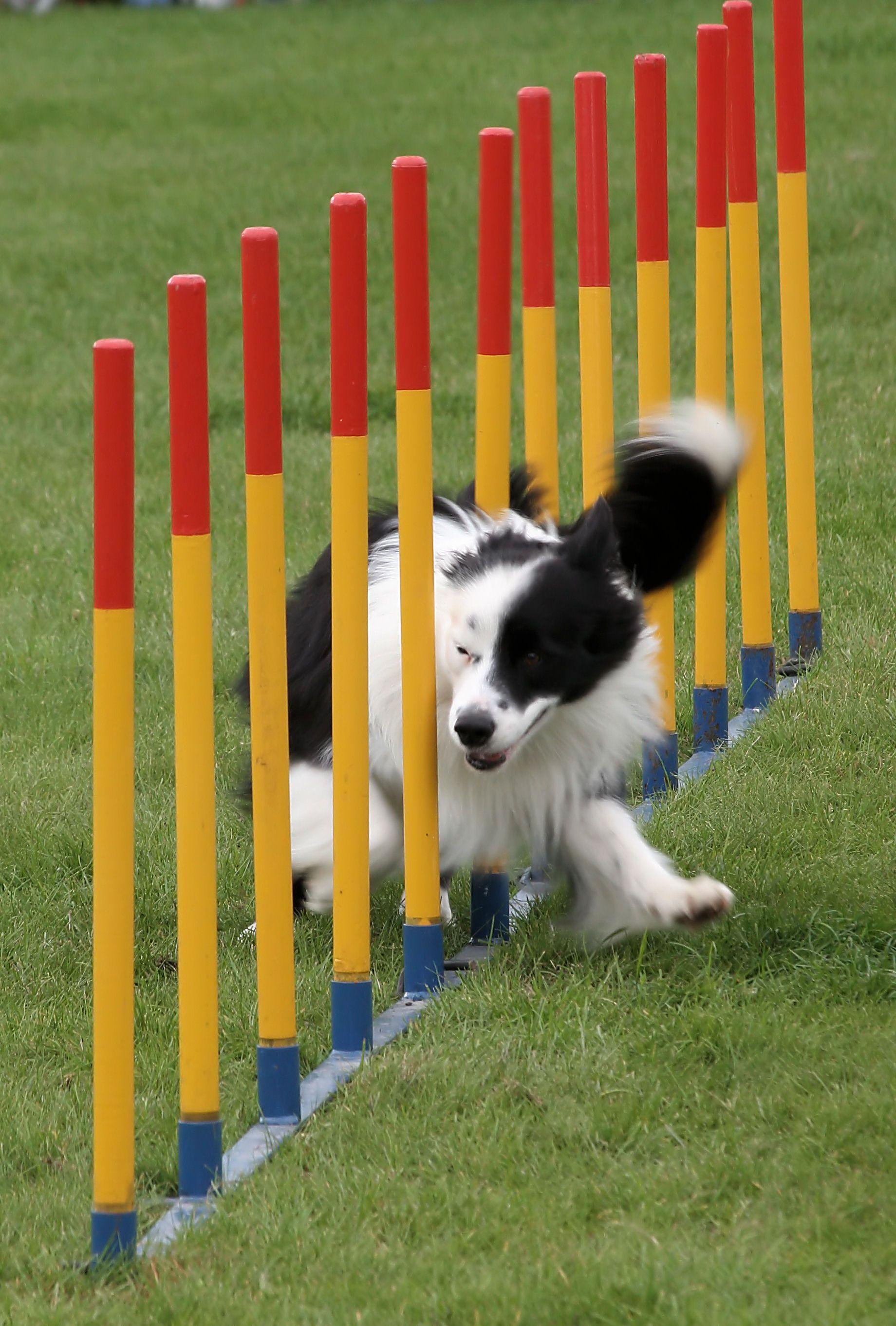 Diy Dog Agility Course Dog Agility Agility Training For Dogs