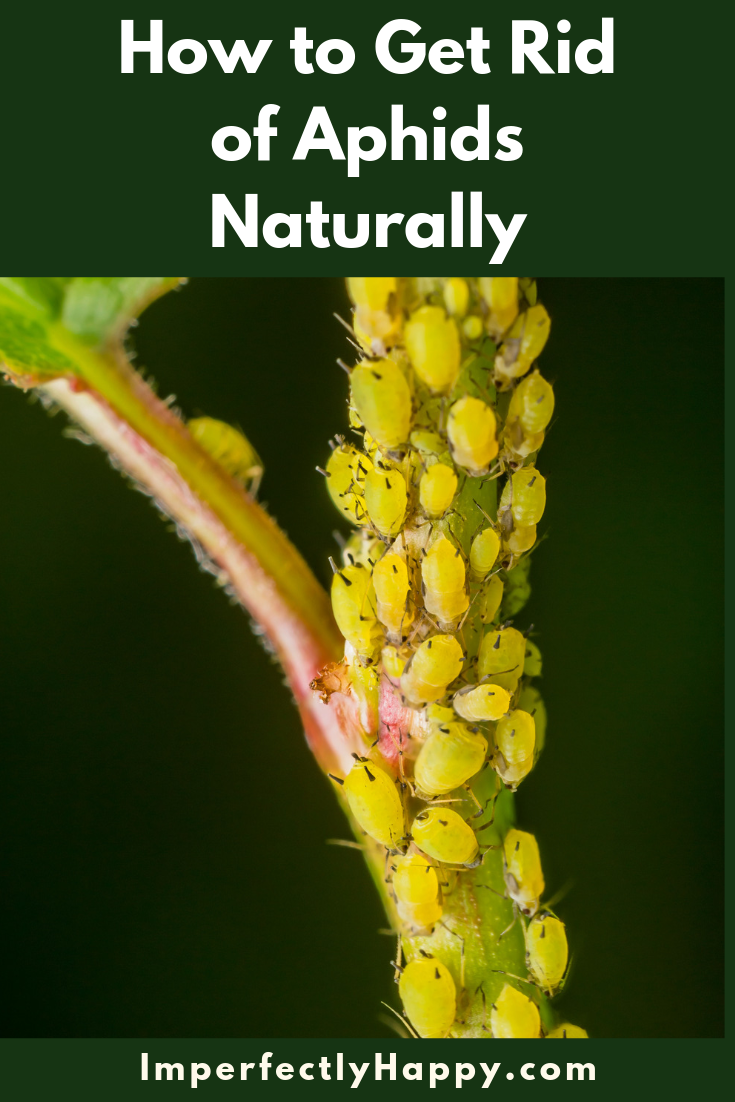 Naturally Controlling Aphids Organic Gardening Tips Get Rid Of Aphids Organic Vegetable Garden