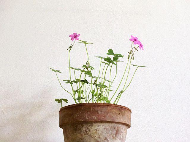 blooming shamrock | Flickr: Intercambio de fotos