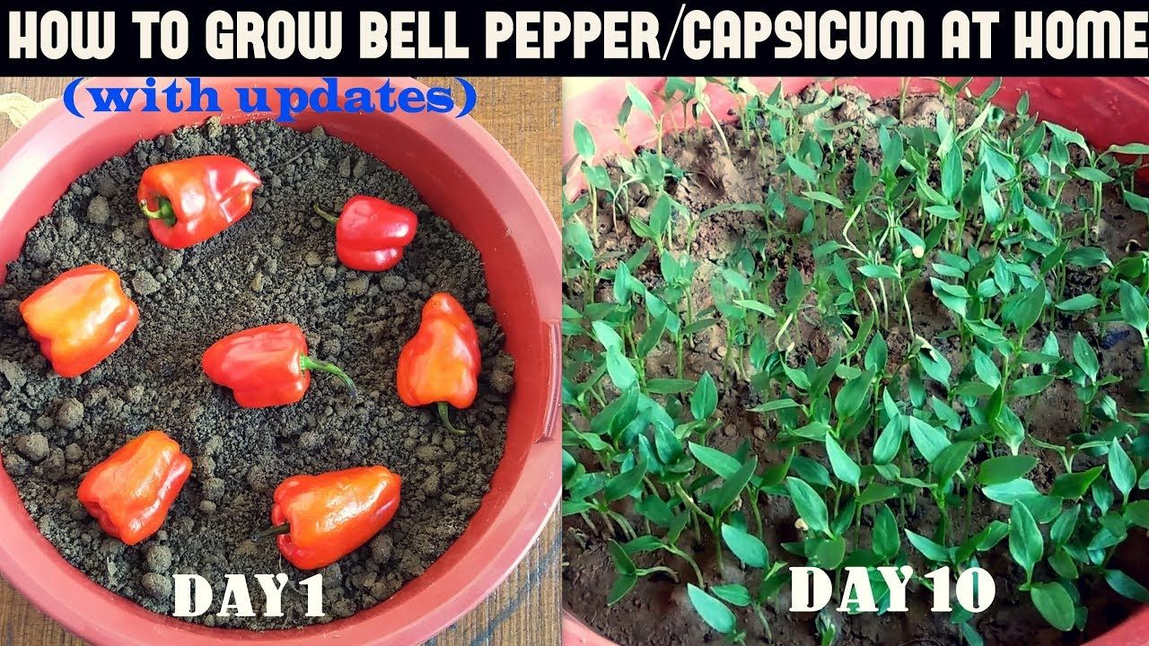 how to grow red peppers from seeds