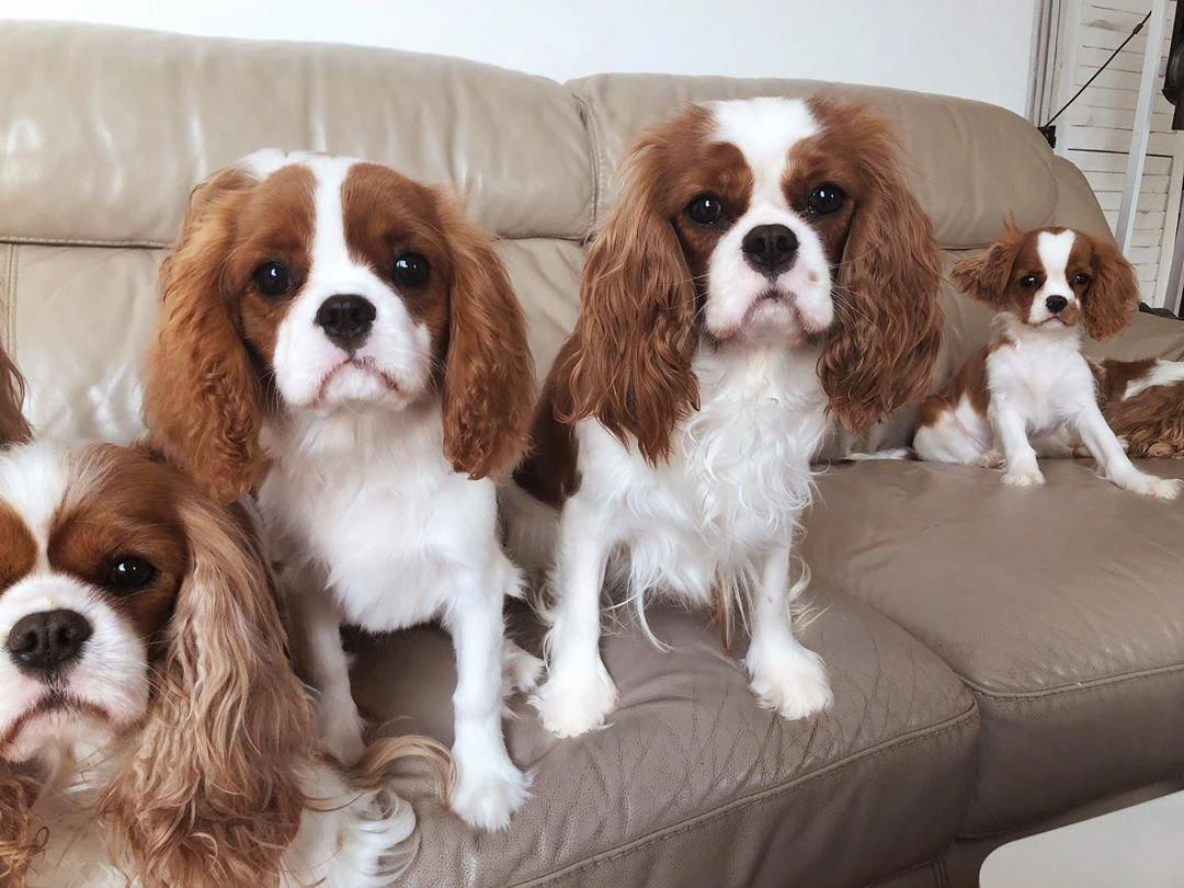 All About Smart Cavalier King Charles Spaniel And Kids Cavalierkin King Charles Cavalier Spaniel Puppy King Charles Dog Cavalier King Charles Spaniel Tricolor