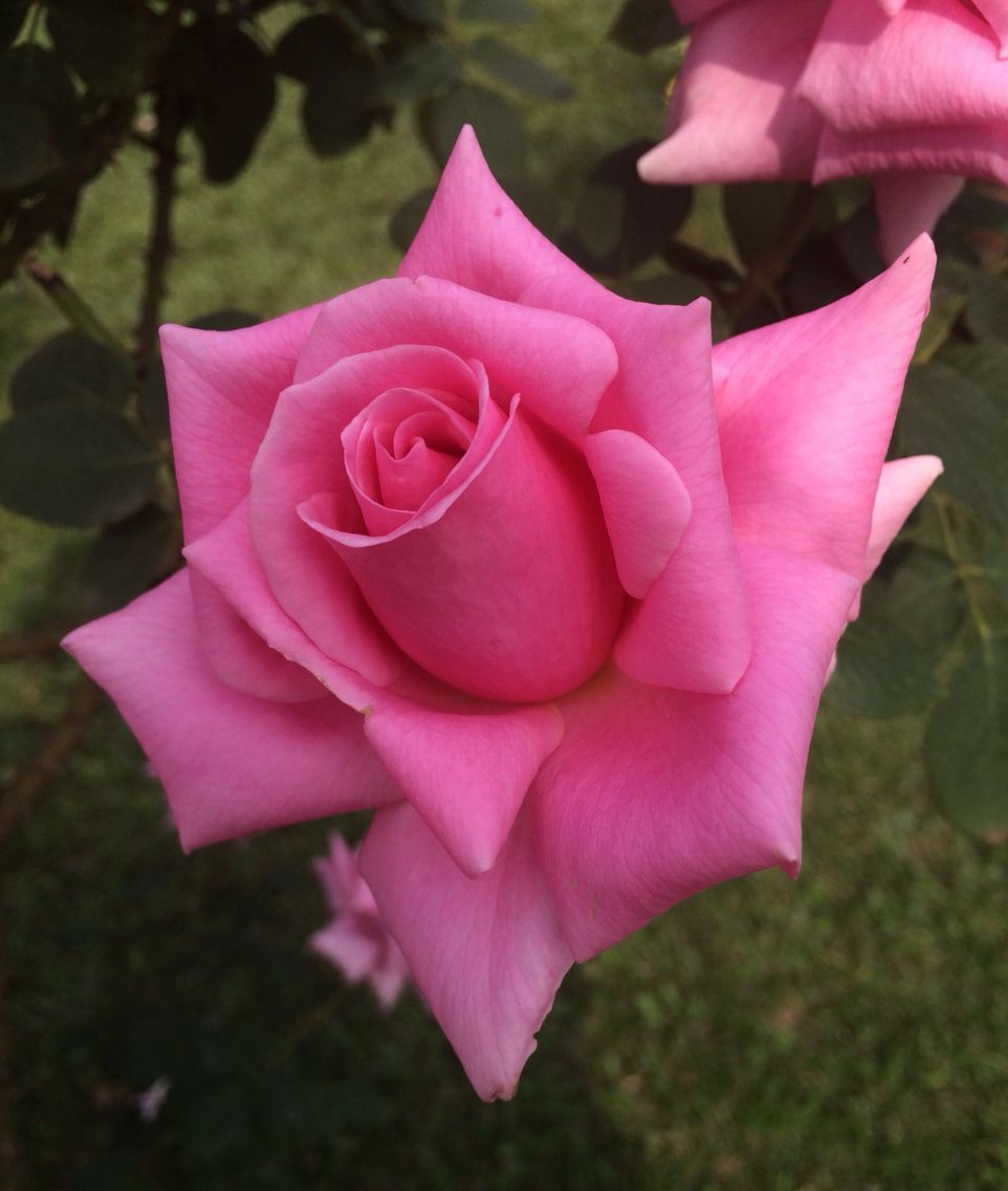 Rose Calcutta India Hybrid Tea Roses Beautiful Rose Flowers Rose Flower