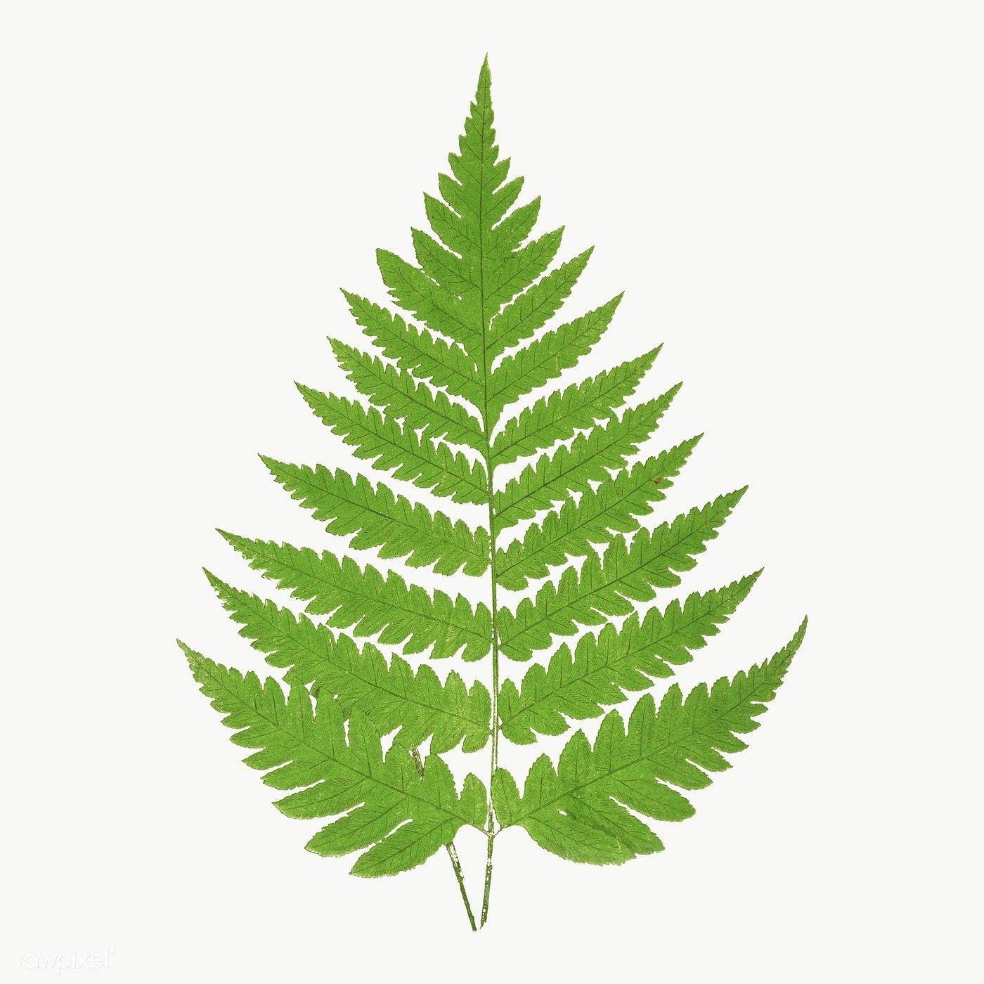 Acrostichum Alienum Fern Leaf Illustration Transparent Png Premium Image By Rawpixel Com Nam