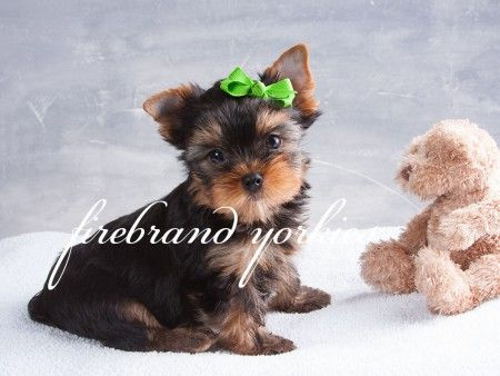 Pin By Firebrand Yorkies On Firebrand Yorkies Our Puppies