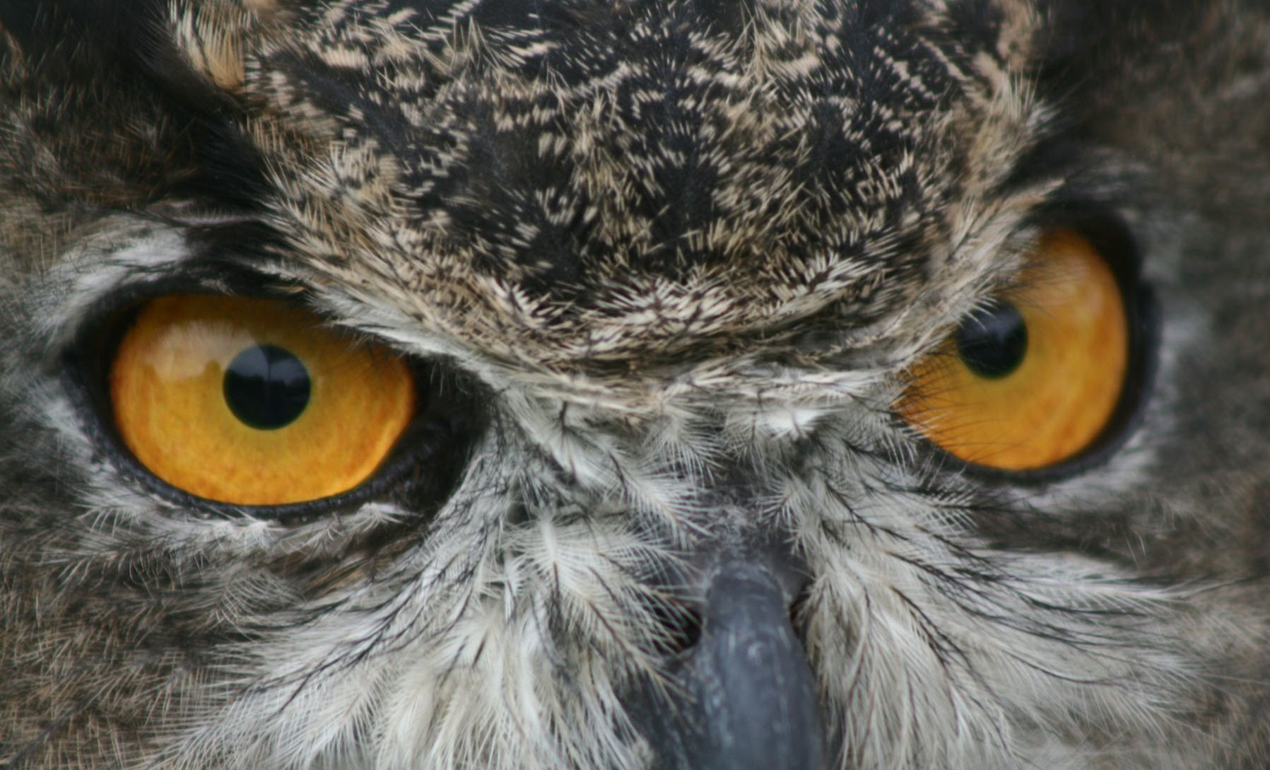Great Horned Owl Eye Diagram - Search For Wiring Diagrams •