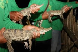 Nineteen Baby Siamese Crocodiles Released In Lao Pdr By Wildlife