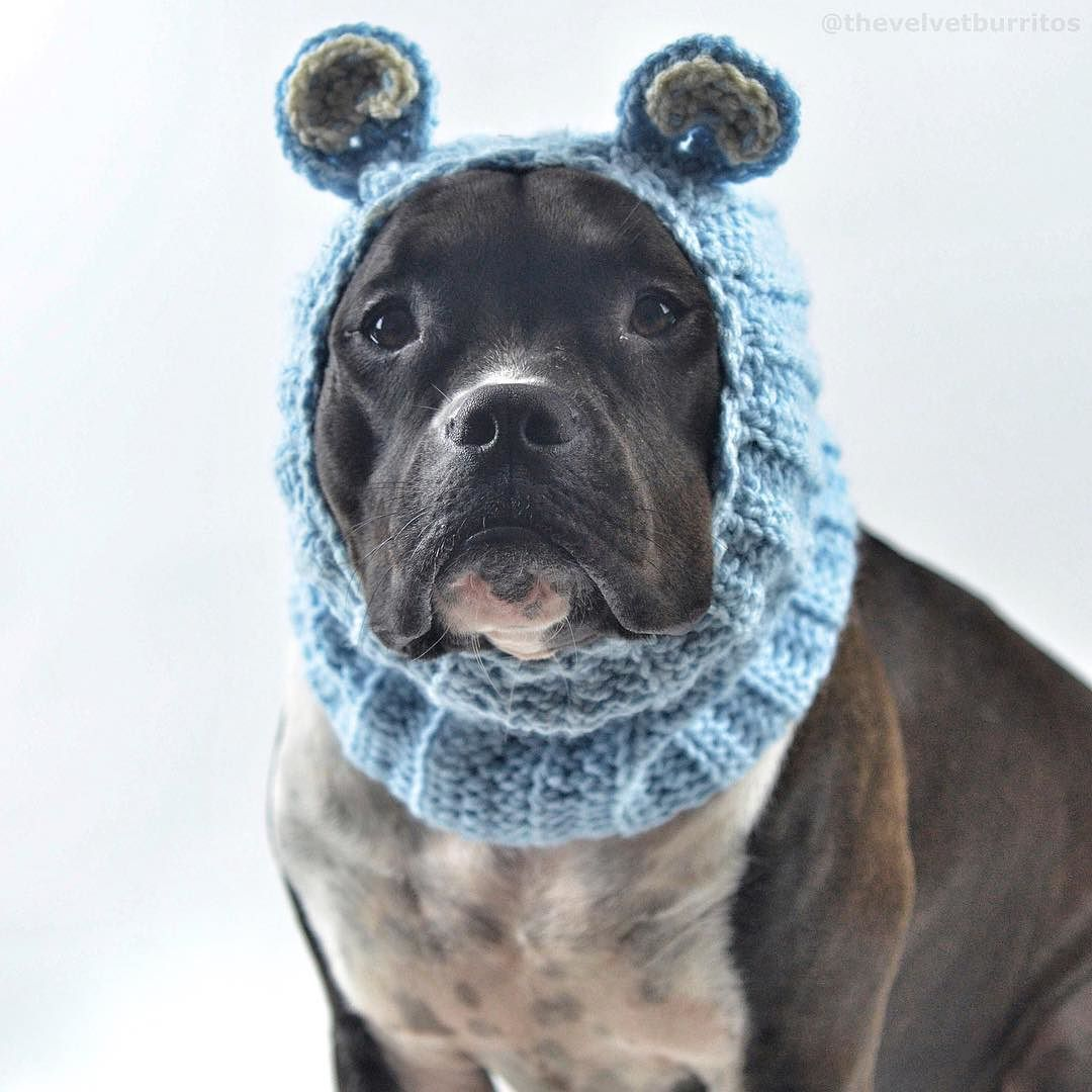 If your emotional house seal becomes unwieldy and upset the best thing to do is give it a knit hat right away. Completely enclosing the pinniped's round streamline head will steadily calm it down and allow it to regain confidence. Offering the seal a platter of fancy crustaceans will also help it feel better while wearing the knit hat.  #MilaOfTroy #ThePhocidQueen #AdoptTheCropped caption via @flapsofdestiny by thevelvetburritos