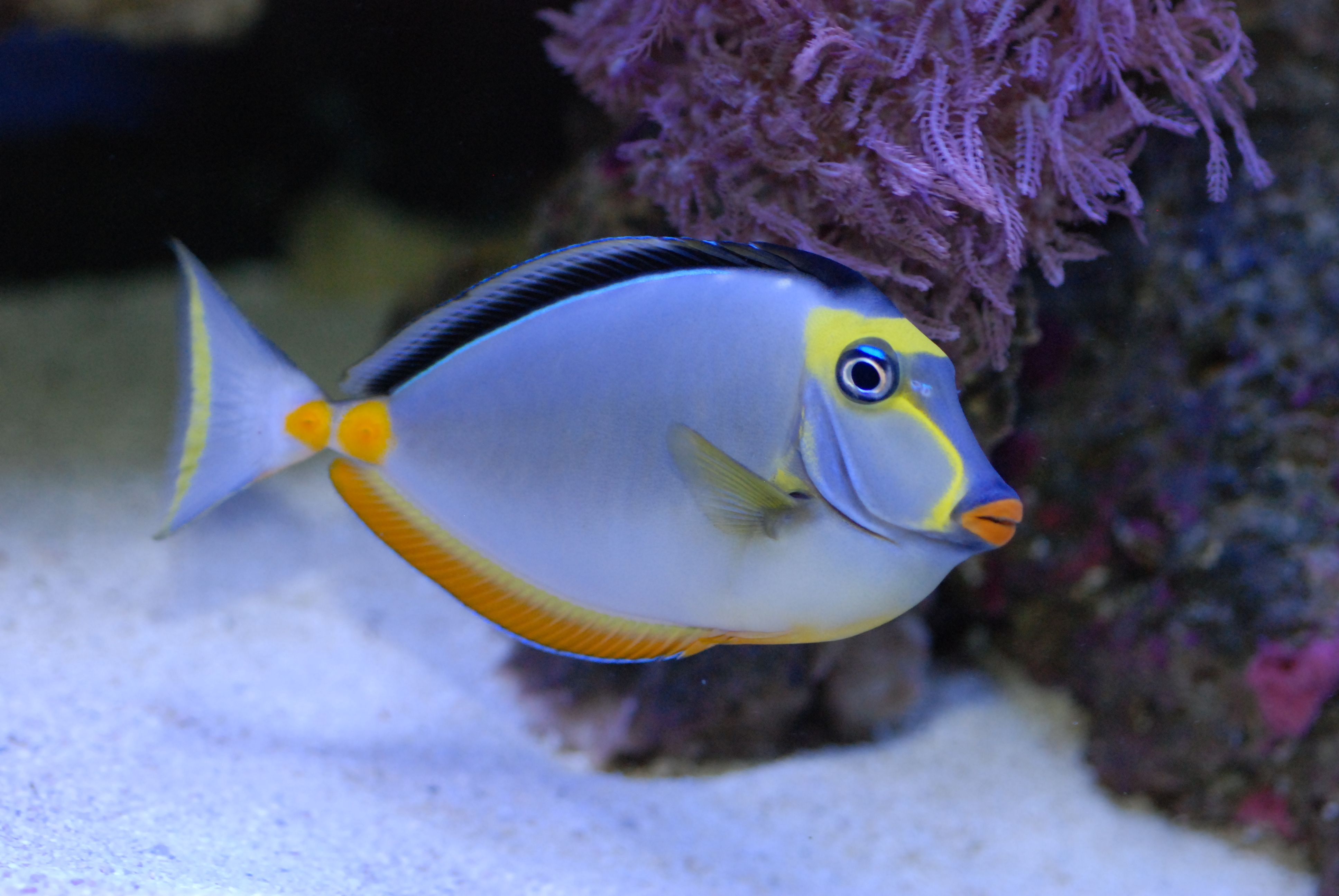 Naso tang my new addition i added him to my aquarium for Salt water fishes