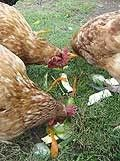 Chicken Keeping - Hens in the Garden | Down the Lane