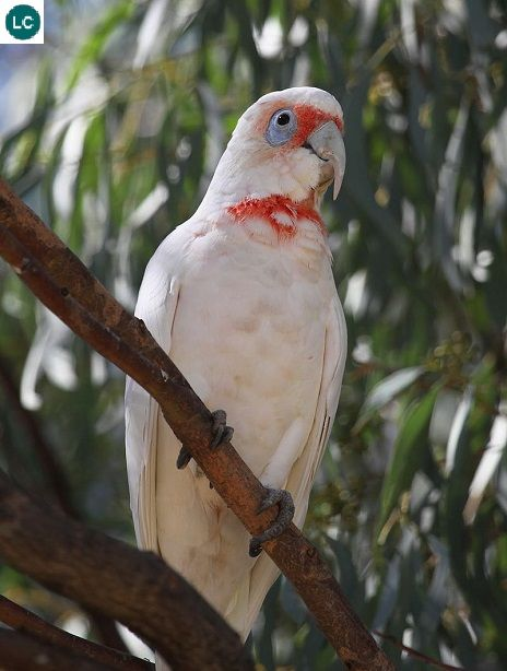 https://www.facebook.com/WonderAvian/ Vẹt mỏ dài; Họ Vẹt mào-Cacatuidae/Cockatoo; Đông-nam Australia    Long-billed corella/Slender-billed corella (Cacatua tenuirostris); IUCN Red List of Threatened Species 3.1 : Least Concern (LC)(Loài ít quan tâm).