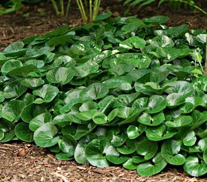 Asarum europaeum joli couvre sol persistant hauteur 10cm pour l 39 ombre shade garden - Couvre sol persistant ...