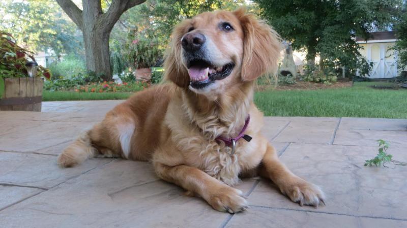 Adopt Nina On Golden Retriever Rescue Dogs Golden Retriever