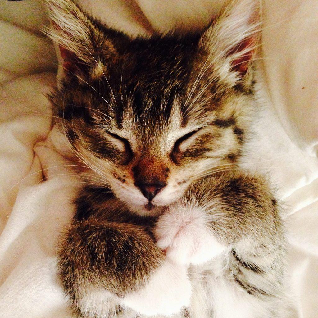 Blissful Kitten 7 Weeks Kitten Cool Cats Cat Pics