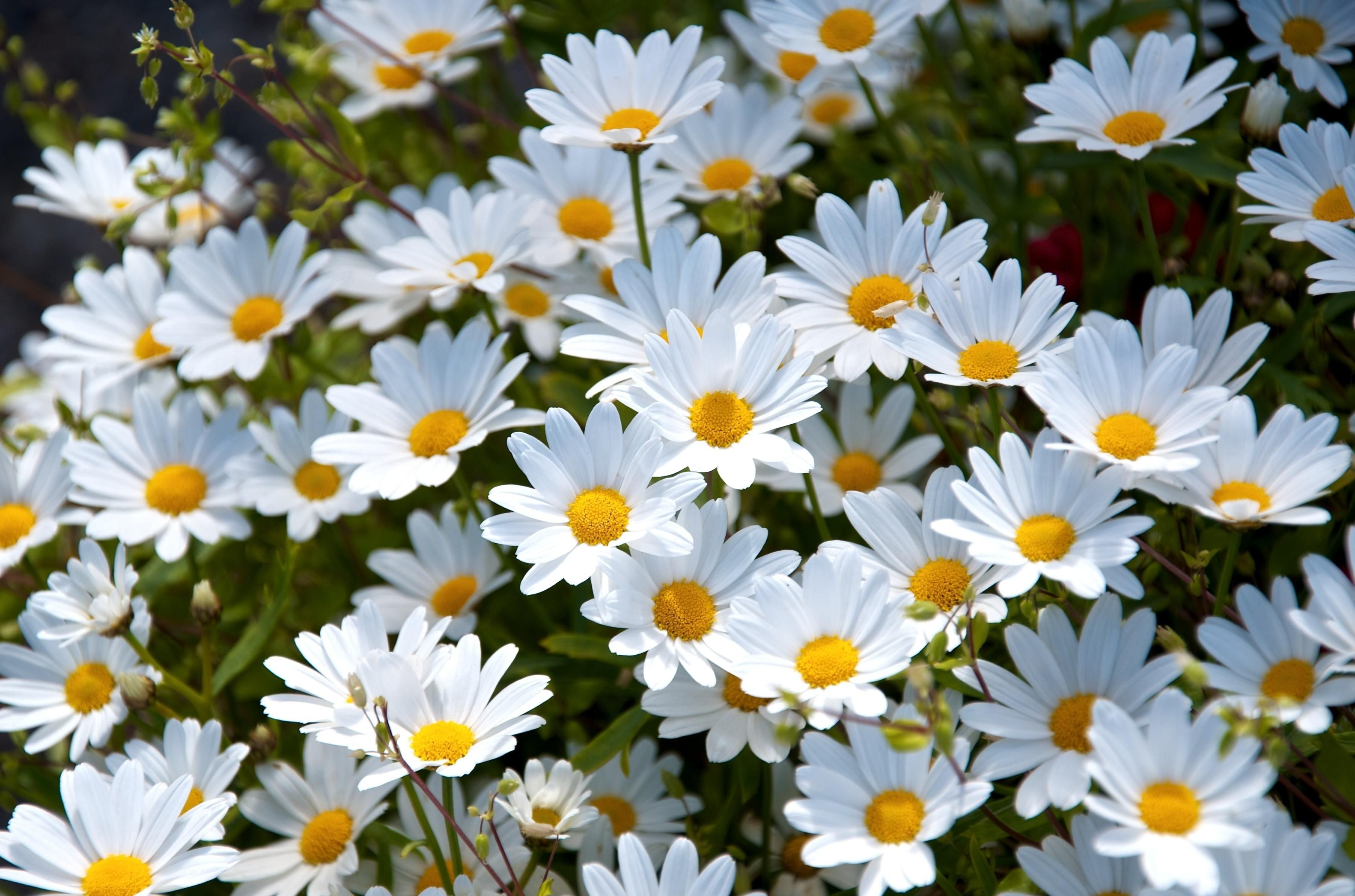 Pin By On Pinterest Flowers Daisy And Daisy Wallpaper