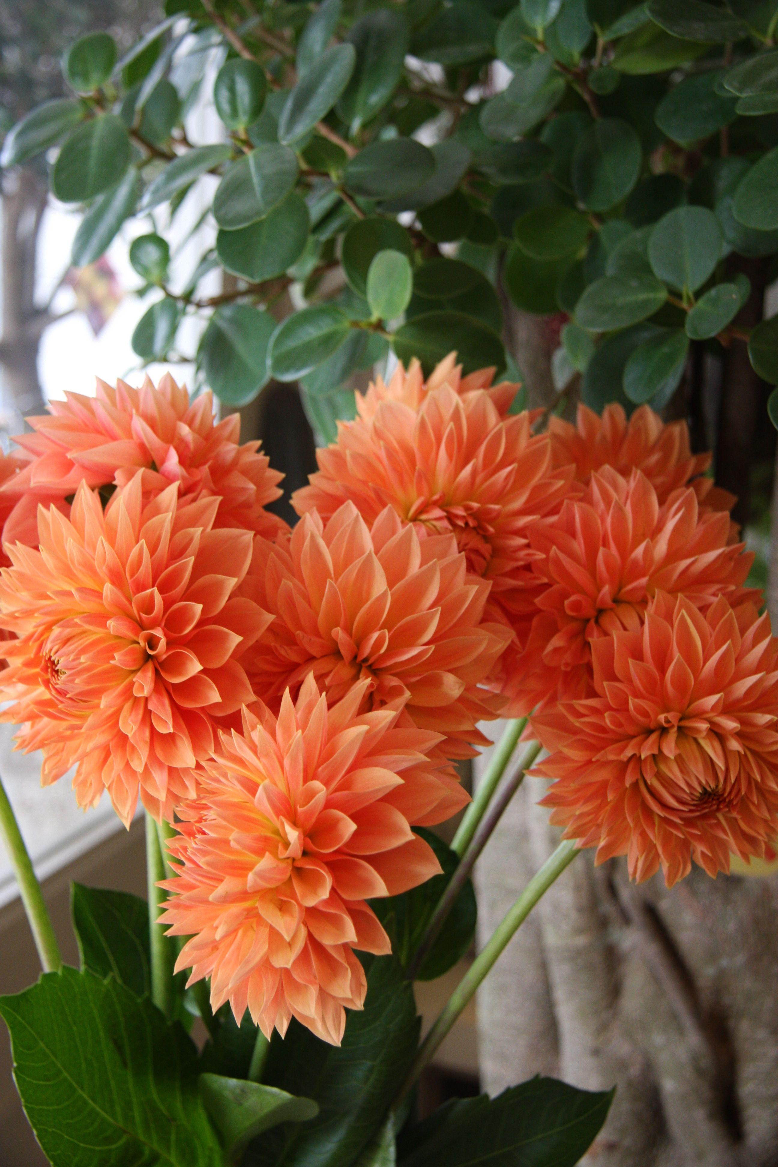 Pin Ot Polzovatelya Katarzyna Andrzejewska Na Doske Flowers In Orange Selected By Tremolo Georginy Cvety