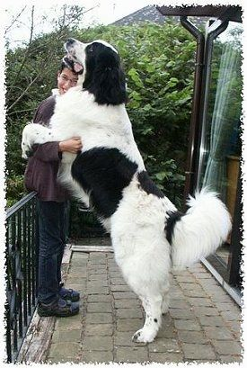A Black And White Landseer Dog Is Jumped Up With Its Front Paws Around The Arms Of A Smiling Person Outside On A Porch The Dog Is T Huge Dogs Big