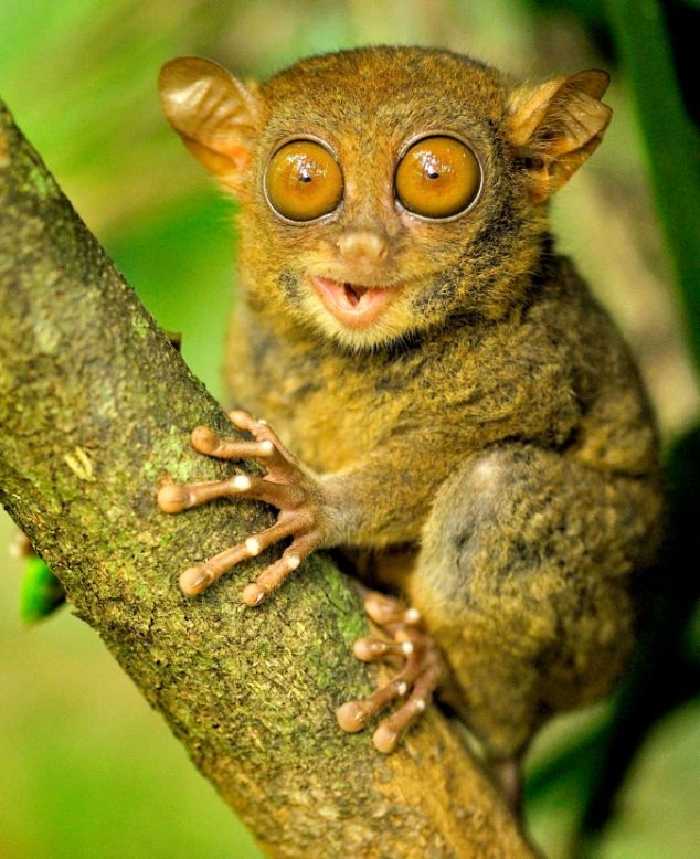 Who You Looking At Tiny Primate Uses His Big Eyes To Spot Up His Dinner From His Perch Funny Animals Animals Cute Animals