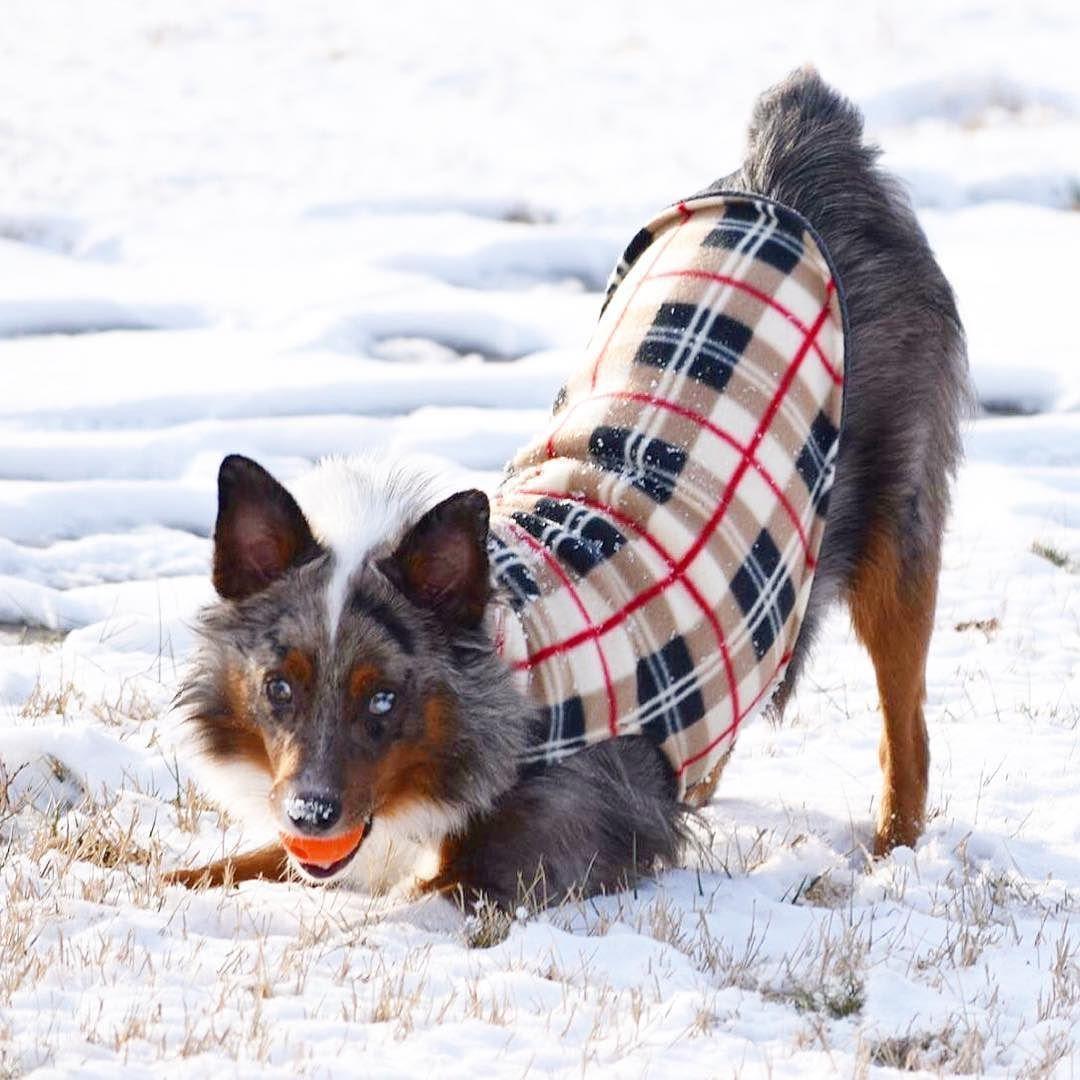 Indy's favorite pose! --------------------------- #miniaussie #mydogiscutest #miniaussiesofinstagram #miniatureaustralianshepherd #miniaustralianshepherd #puppy #puppies #puppystagram #puppiesofinstagram #topdogphoto #lacyandpaws #snowdog #snowday #snow #australianshepherdworld #aussie #aussienation #australianshepherd #bluemerle #marbledeyes #dog #dogs #dailydog #dogstagram #dogfeatures #dog_features #dogsofinstagram by indyandeevee