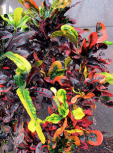 Crotons Were Originally An Outdoor Decorative Plant But Now A