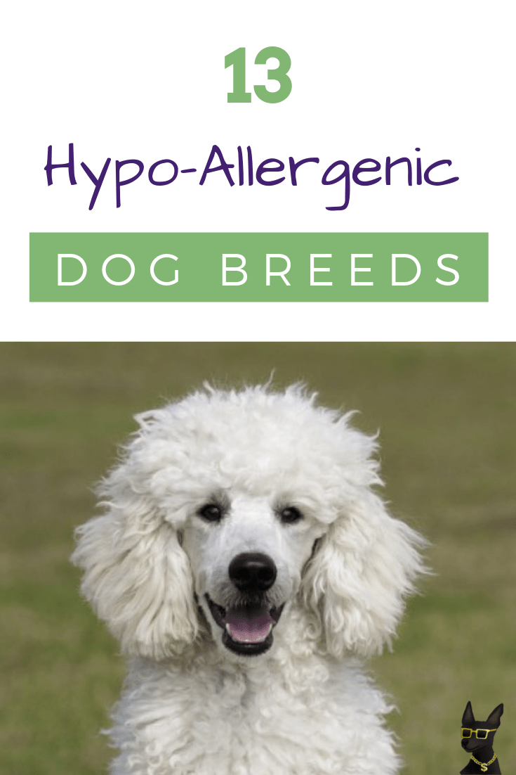 13 Hypoallergenic Dogs Hypoallergenic Dog Breed Hypoallergenic Dogs Dog Allergies