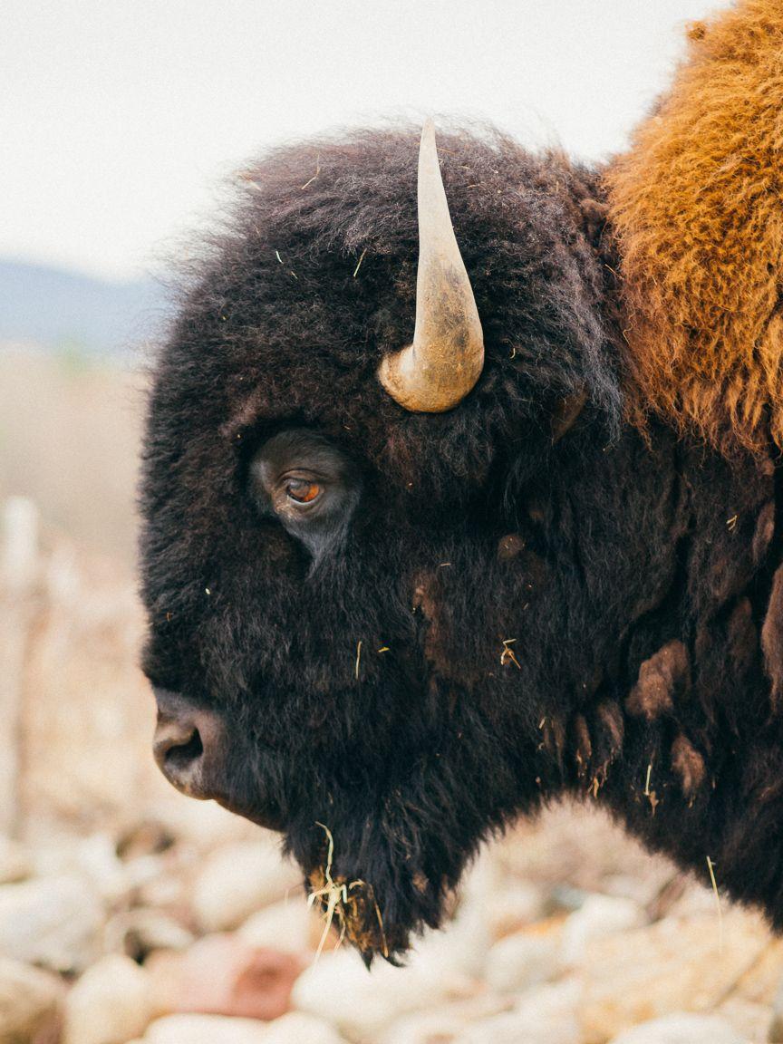 Bison Buffalo South Dakota Forest Nature Landscape HD POSTER