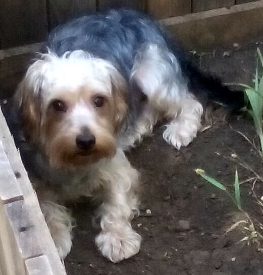 Lost Dog Yorkshire Terrier Yorkie Arlington Tx United States
