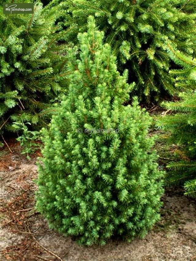 https://www.gardenpalms.com//Userfiles/FotosProdMP/Christmas Tree Picea glauca Conica1